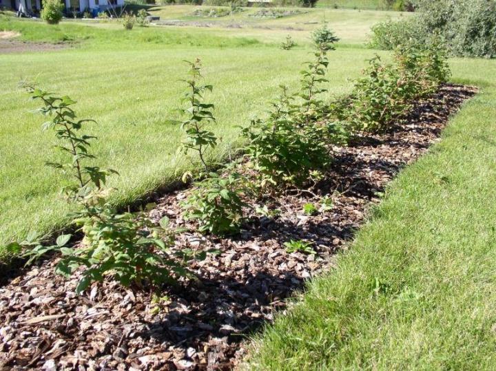 Мульчирование почвы, подвязывание веток малины при подготовке к зимовке