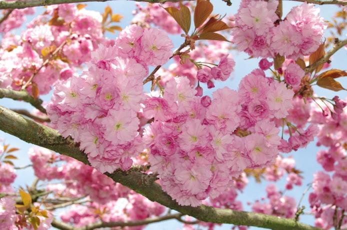 Необыкновенно красивое цветение черемухи