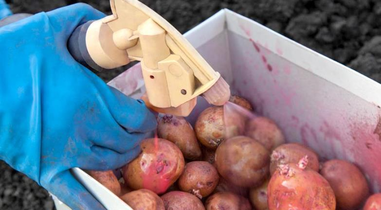 Обработка картофеля перед посадкой - как предотвратить заболевания и уберечь от вредителей