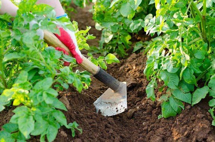 Окучивание картофеля после полива поможет сохранить влагу