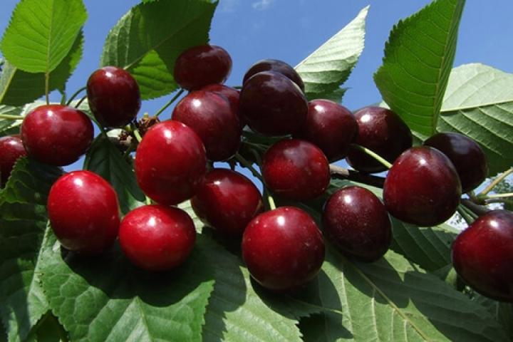 Описание особенностей ягод черешни Ревна