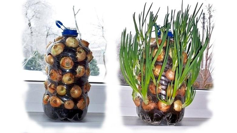 Оригинальная схема посадки лука на перо в пластиковой таре дома