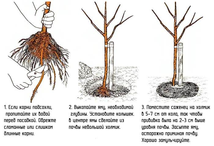 Основные этапы посадки черешни