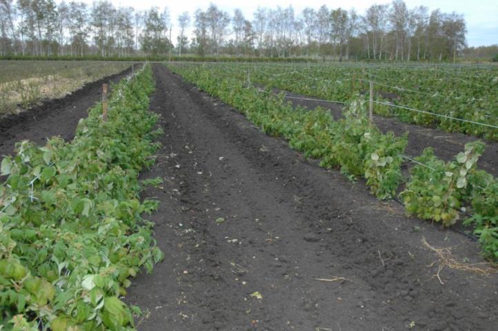 Особенности подготовки грунта для посадки малинника