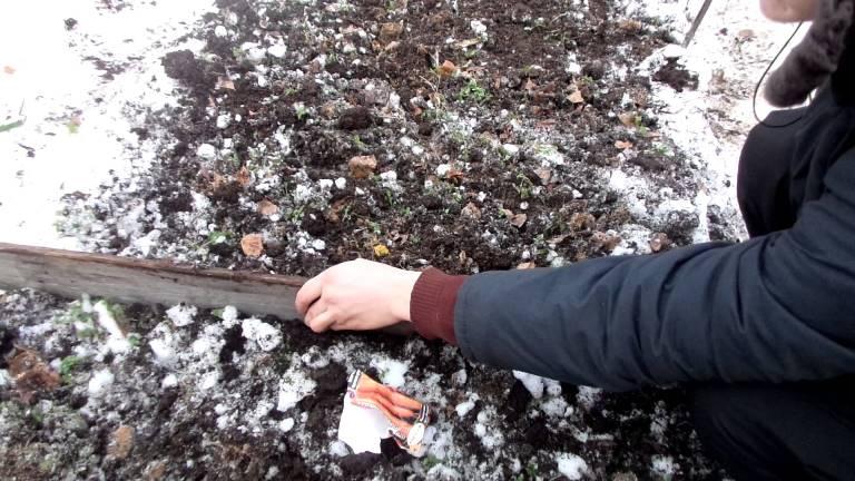 Особенности подготовки к посеву моркови под зиму