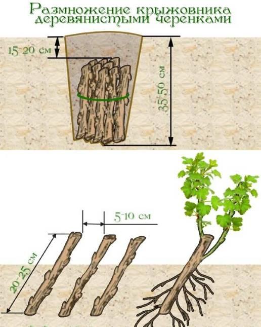 Особенности размножения крыжовника деревянистыми черенками