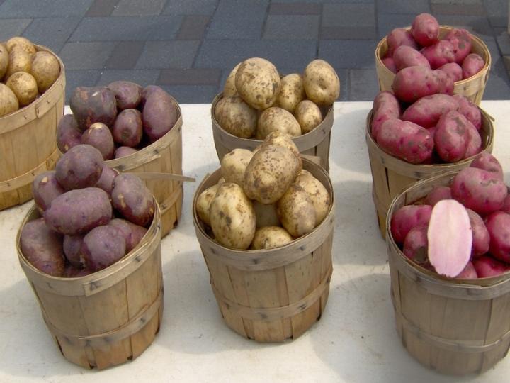 Особенности сбора урожая картофеля в зависимости от сорта