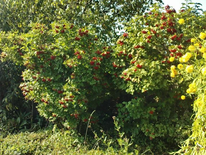 Особенности ухода за калиной весной, летом, осенью в открытом грунте