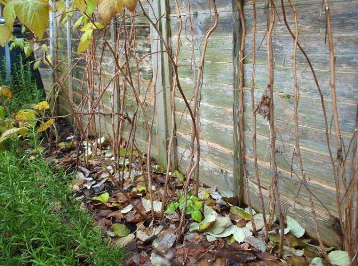 Особенности ухода за малиной осенью и ее подготовка к зиме