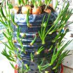 Особенности выращивания лука в пластиковых бутылках
