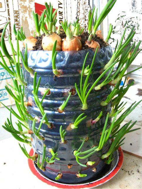 Особенности выращивания лука в пластиковых бутылках - оптимальный размер луковицы для посадки