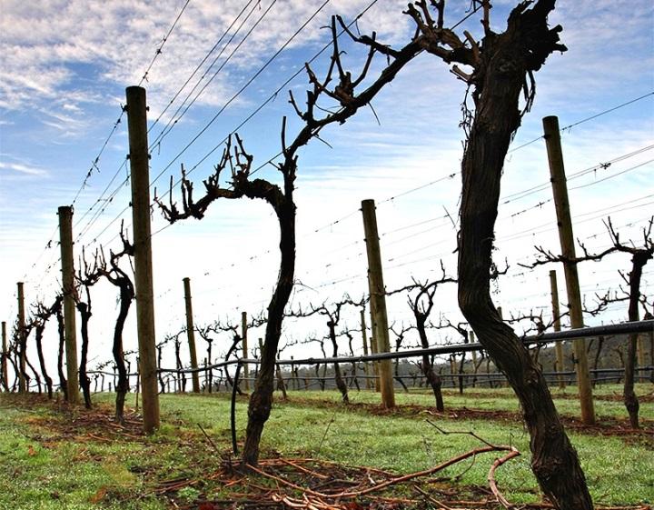 Пересадка винограда весной до начала сокодвижения