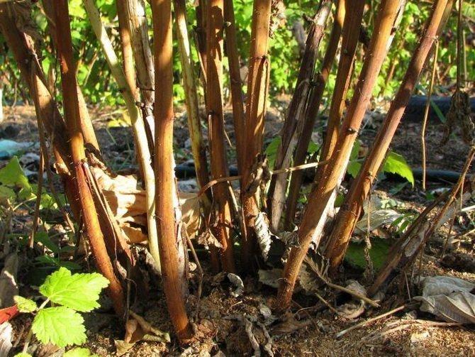 Подготовка малины к зиме осенью — зачем обрезать
