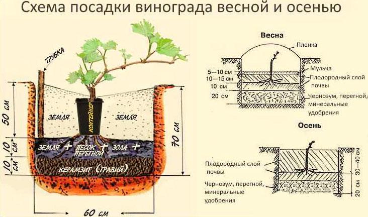 Подготовка ямы для пересадки винограда на новое место