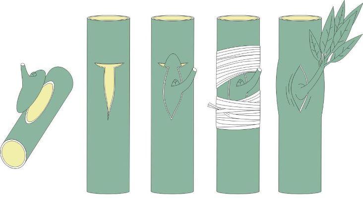 Подходит ли метод окулировки для прививки алычи