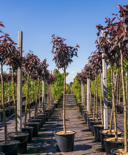 Пошаговый процесс посадки саженцев японской вишни и условия выращивания