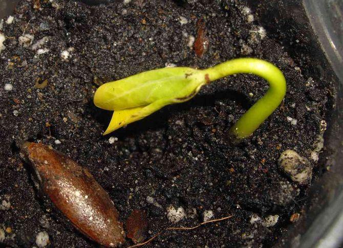 Правила посадки семян хурмы - сад на подоконнике