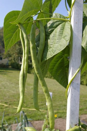 Правила посадки выращивания стручковой фасоли в открытом грунте