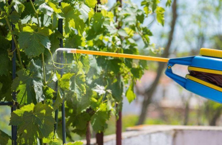 Профилактическая обработка винограда от серой гнили - время для процедуры, препараты