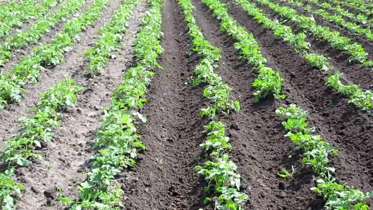 Расстояние между рядами картофеля при посадке