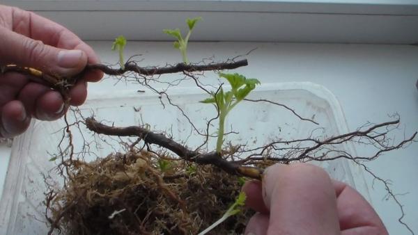 Размножение малины корневыми отпрысками - советы опытных дачников