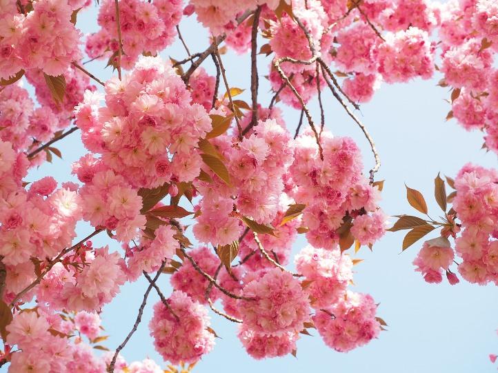 Сакура в отличие от вишни имеет махровые цветы