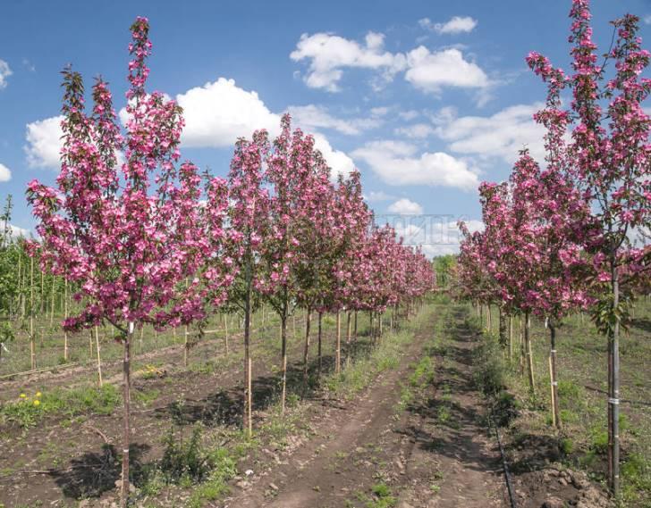 Саженцы яблони декоративной Ола