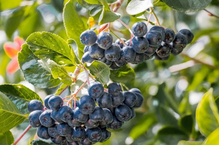 Сбор и хранение урожая аронии черноплодной