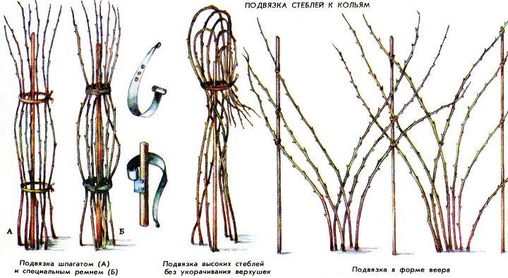 Секреты подвязки малинника перед зимовкой