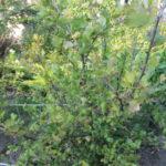 Эффективное выращивание крыжовника или основные правила хорошего урожая