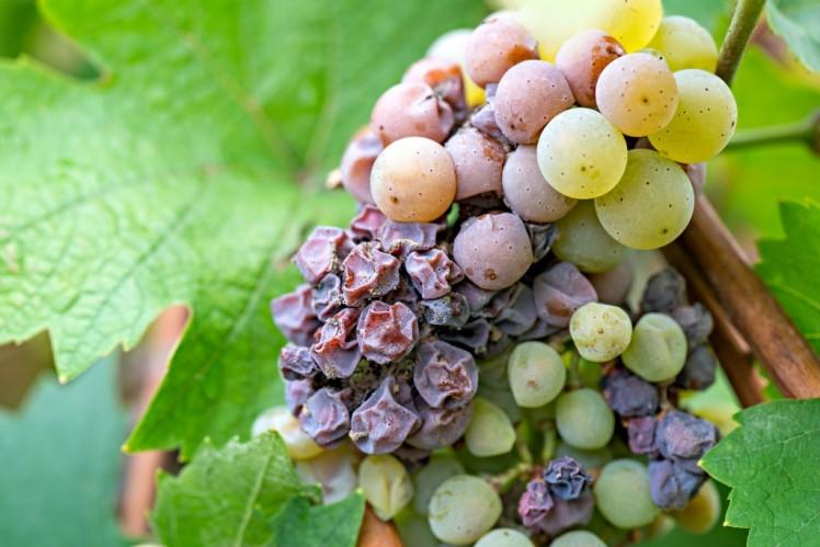 Серая гниль на винограде как бороться с заболеванием