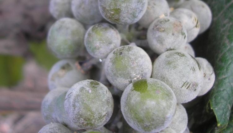 Серая гниль на винограде - как уберечь урожай от гибели
