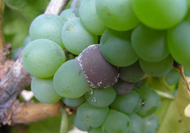 Серая гниль на винограде поражение плодов грибковой инфекцией