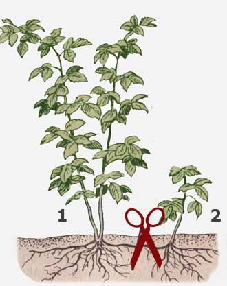 Схема размножения малины корневыми отпрысками