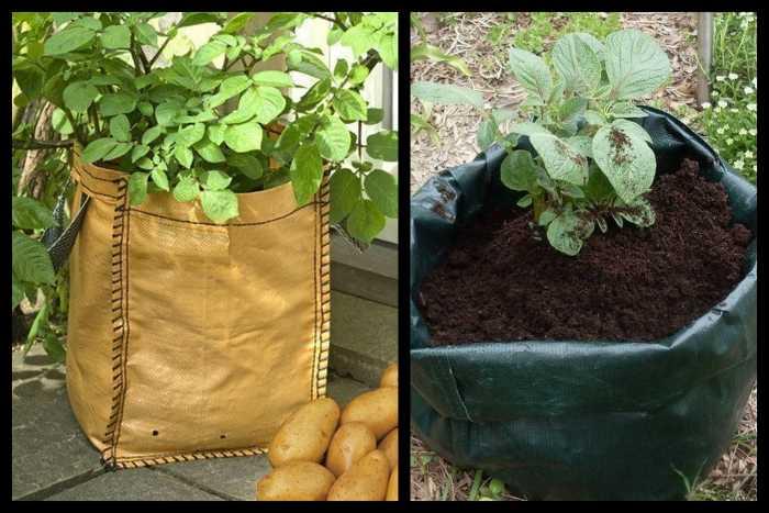 Сложности посадки картофеля в мешки