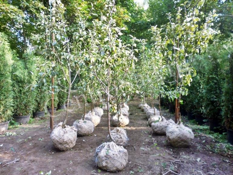 Советы по уходу за яблоней Белый налив - посадка молодого саженца