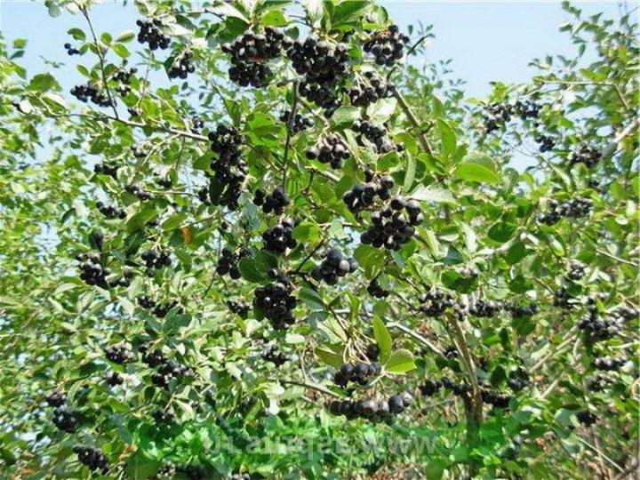 Черноплодная рябина — выращивание и уход