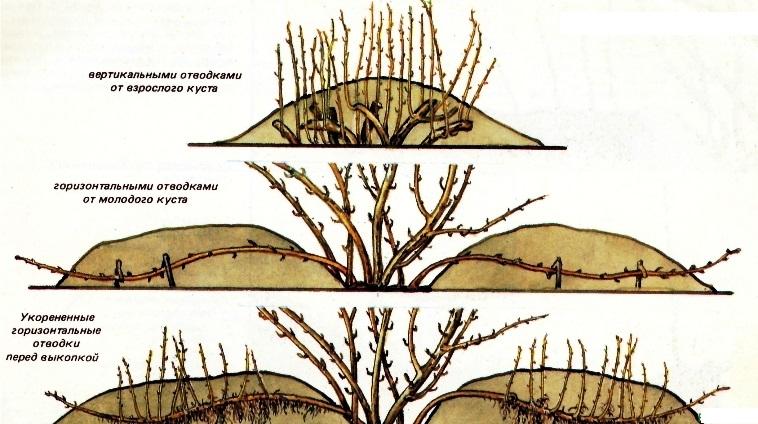Способы размножения крыжовника отводками