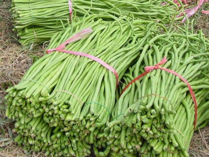 Стручковая фасоль - правильные сроки сбора урожая на даче или огороде