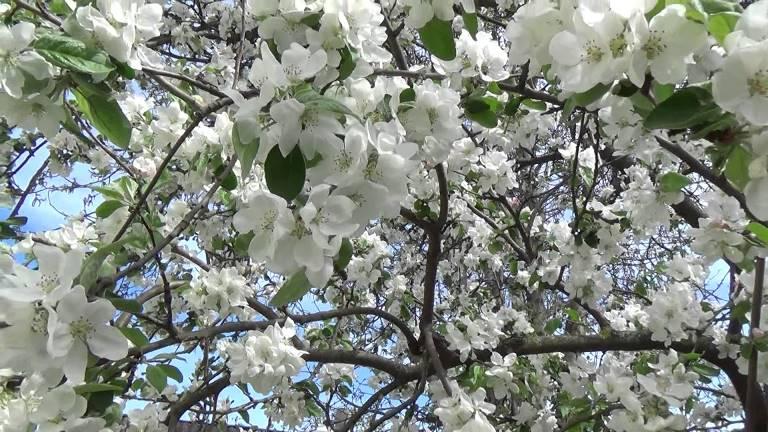 Цветение белого налива весной