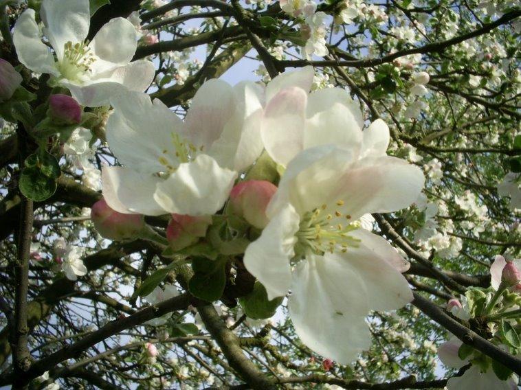 Цветение европейской сакуры - цветущий белый налив