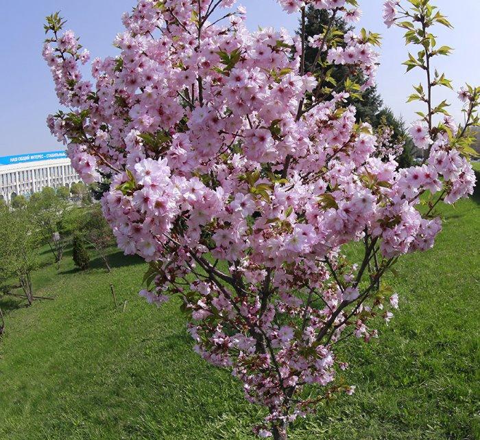 Цветение сакуры - в чем отличие от вишни