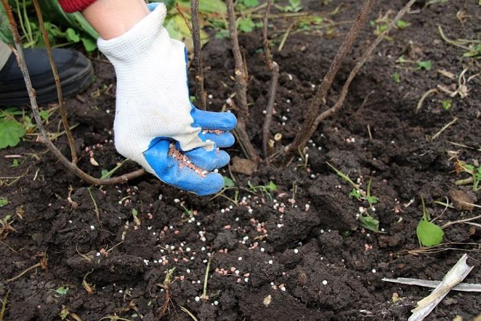 Уборка листвы и внесение удобрений под малиновый куст