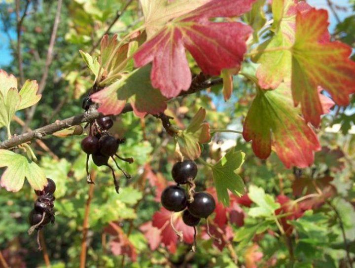 Уход за кустами черной смородины осенью