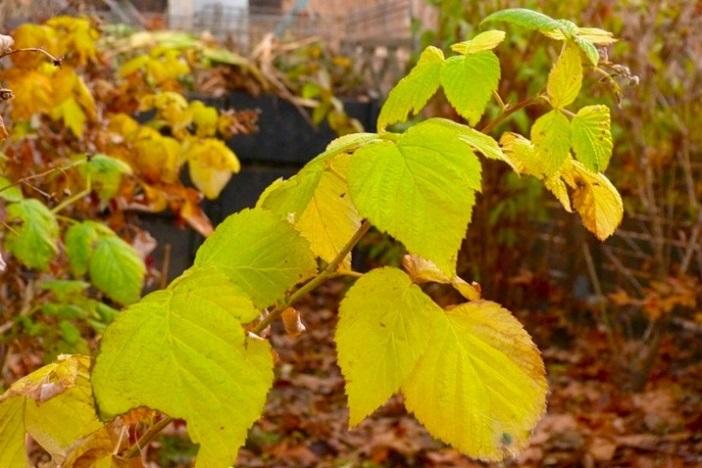 Уход за малиной осенью и подготовка к зиме - обрезка и укрытие