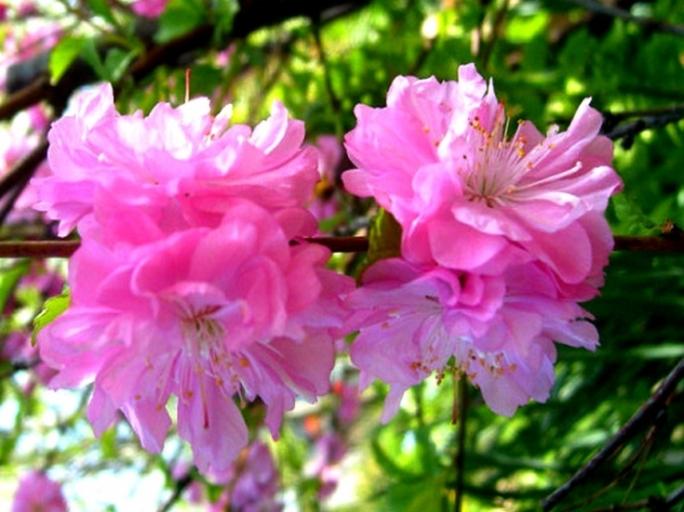 Уход за сакурой - внесение подкормок для обильного цветения