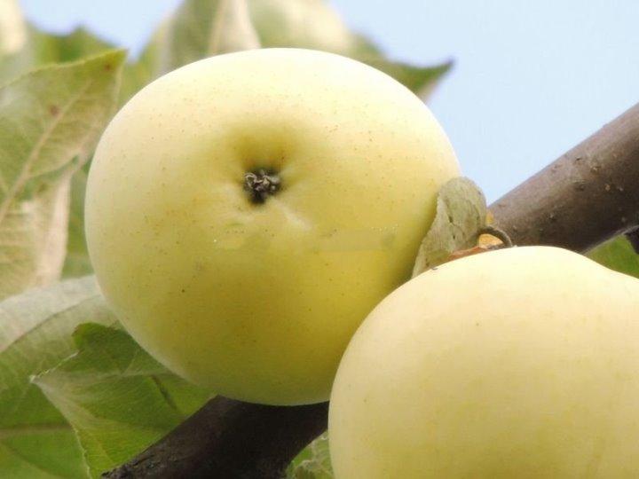 Устойчив ли сорт яблони белый налив к заболеваниям