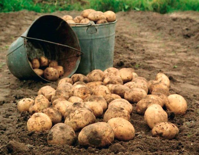 В какую погоду лучше собирать урожай картофеля, чтобы долго хранился