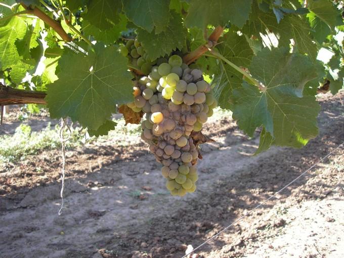 Виды гнилей винограда - серая гниль, чем опасна болезнь