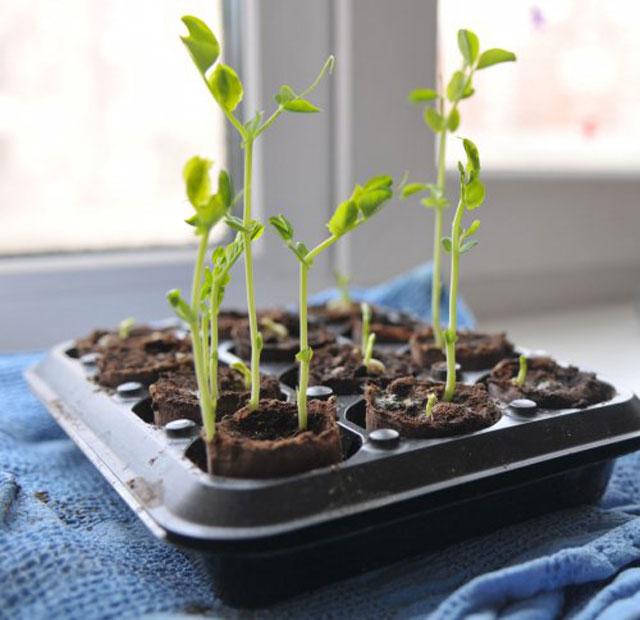 Выбор емкости для проращивания фасоли